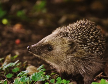 How hedgehogs are helping improve hand movement in people with brain injuries